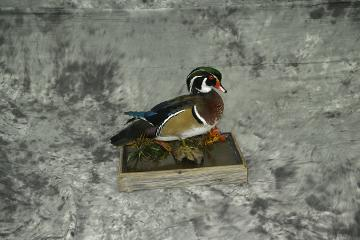 Wood Duck - Derek Sanderson