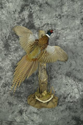 Ringneck Pheasant - Derek Sanderson
