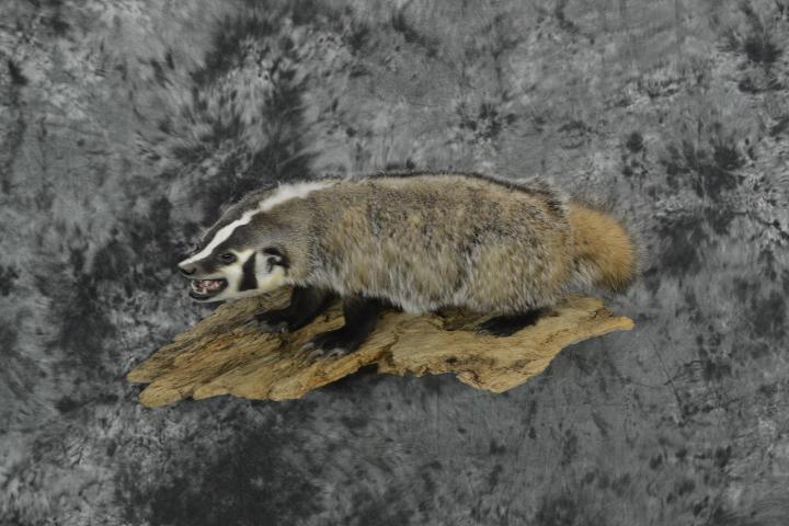 Badger - Travis Sandberg