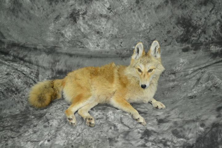 Coyote - Travis Sandberg