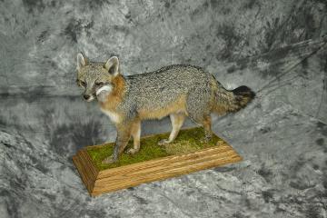 Grey Fox - Bret Swanson