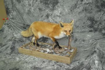 Red fox - Joel Van Halbeck