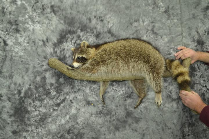 Raccoon - James Dirkes