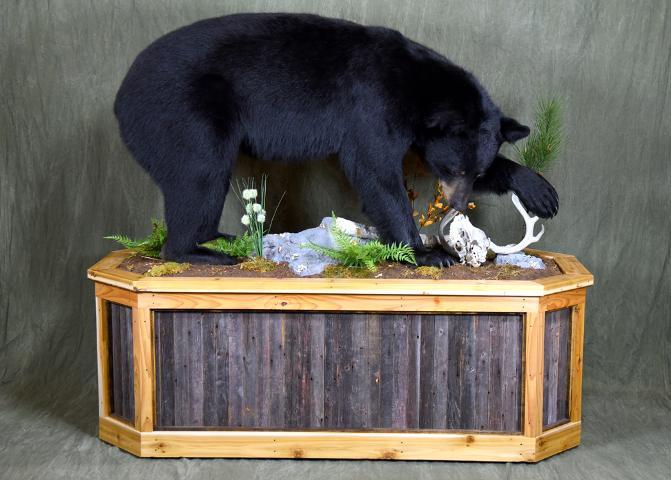 Black Bear by Nick Genereux